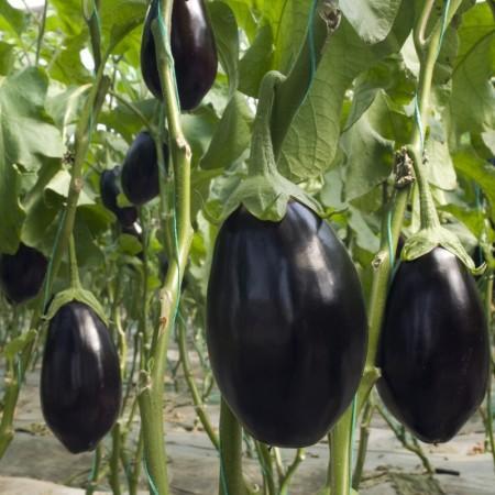 Topan Patlıcan Fidesi (50 Adet)