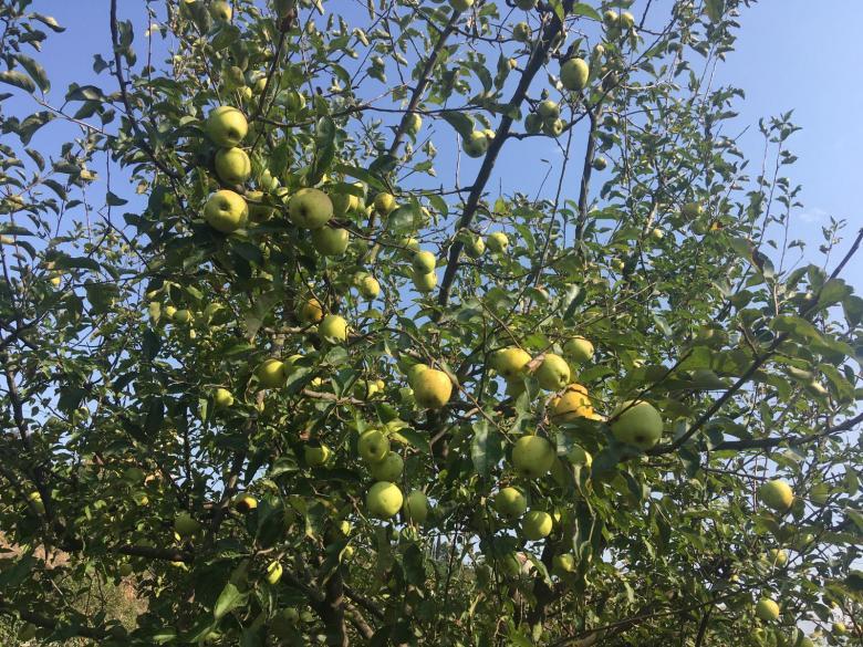 Elma ağaçtan