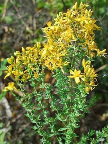 Taze Kantaron Çiçeği 1 Kilo